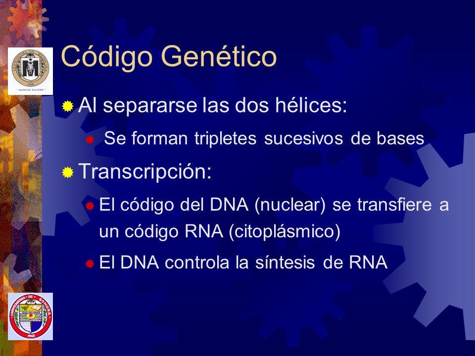 Código Genético Al separarse las dos hélices: Transcripción:
