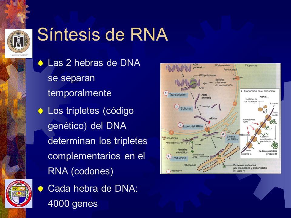 Síntesis de RNA Las 2 hebras de DNA se separan temporalmente