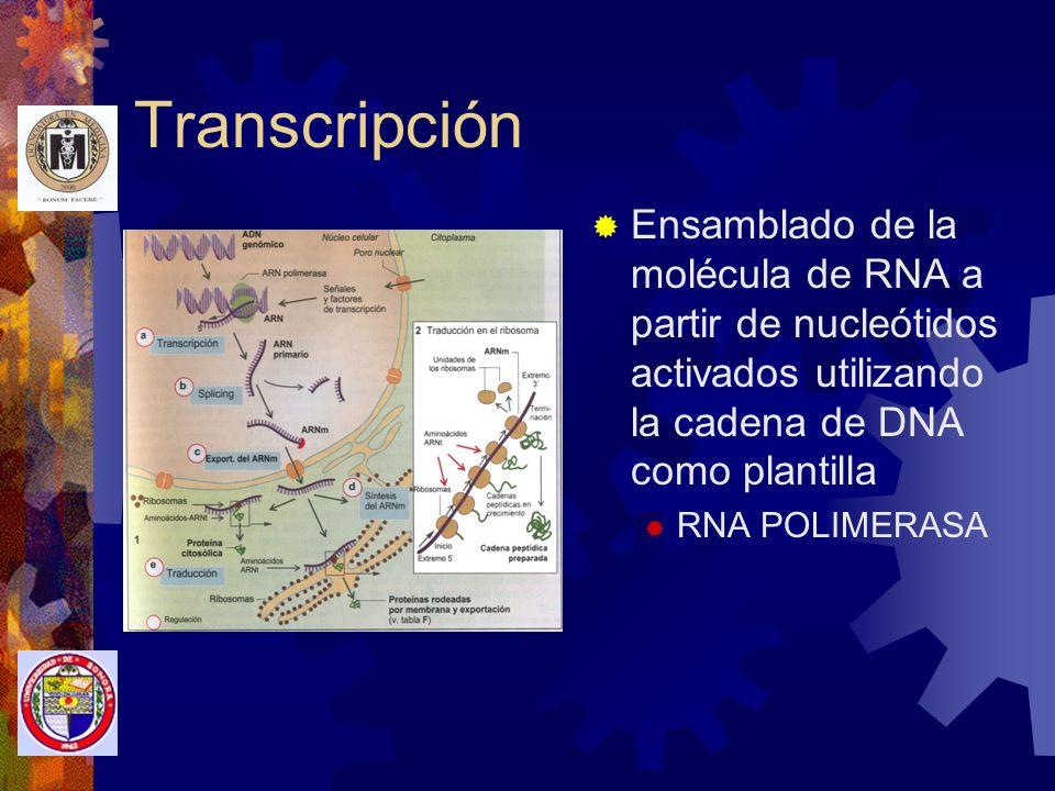 Transcripción Ensamblado de la molécula de RNA a partir de nucleótidos activados utilizando la cadena de DNA como plantilla.