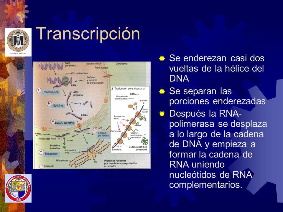 Transcripción Se enderezan casi dos vueltas de la hélice del DNA