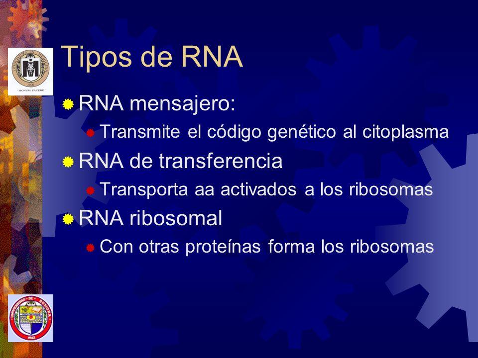 Tipos de RNA RNA mensajero: RNA de transferencia RNA ribosomal