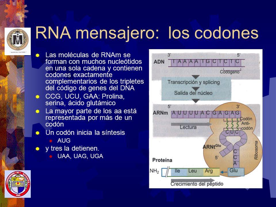 RNA mensajero: los codones