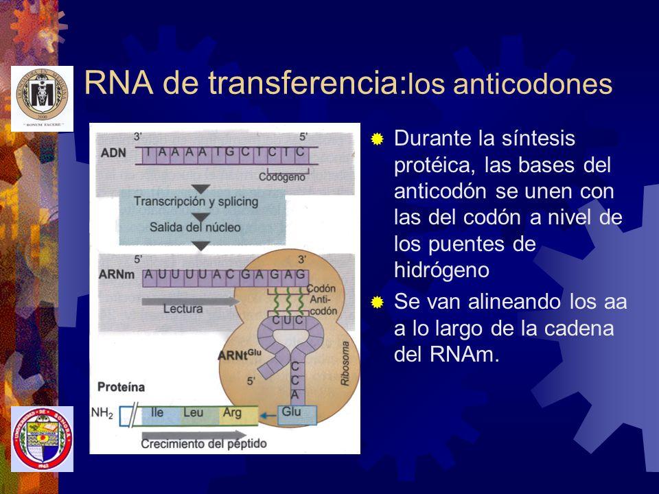 RNA de transferencia:los anticodones