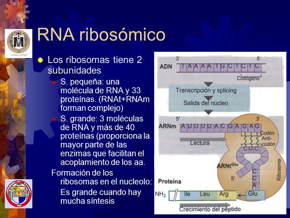 RNA ribosómico Los ribosomas tiene 2 subunidades
