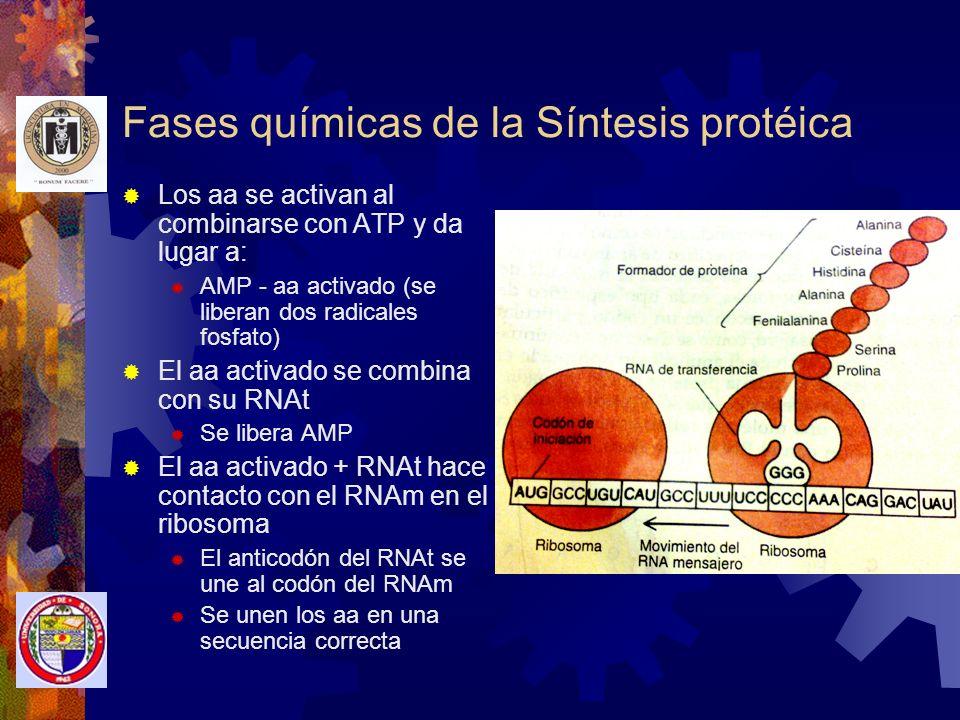 Fases químicas de la Síntesis protéica