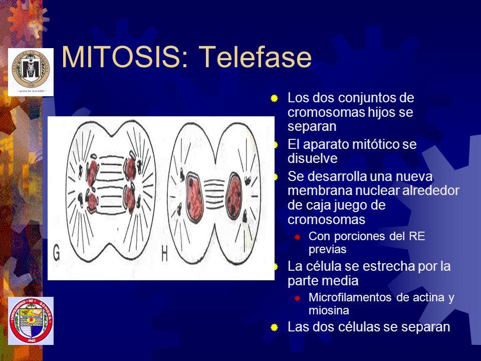 MITOSIS: Telefase Los dos conjuntos de cromosomas hijos se separan