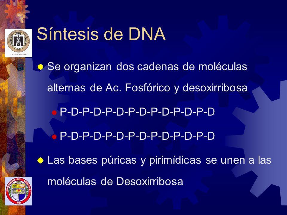 Síntesis de DNA Se organizan dos cadenas de moléculas alternas de Ac. Fosfórico y desoxirribosa. P-D-P-D-P-D-P-D-P-D-P-D-P-D.