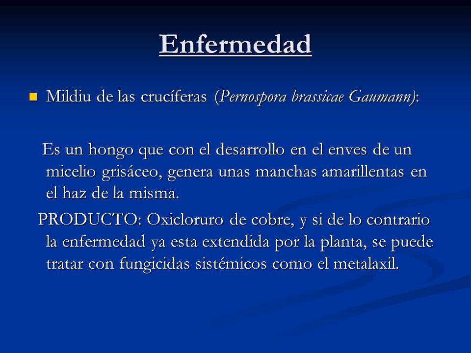 Enfermedad Mildiu de las crucíferas (Pernospora brassicae Gaumann):