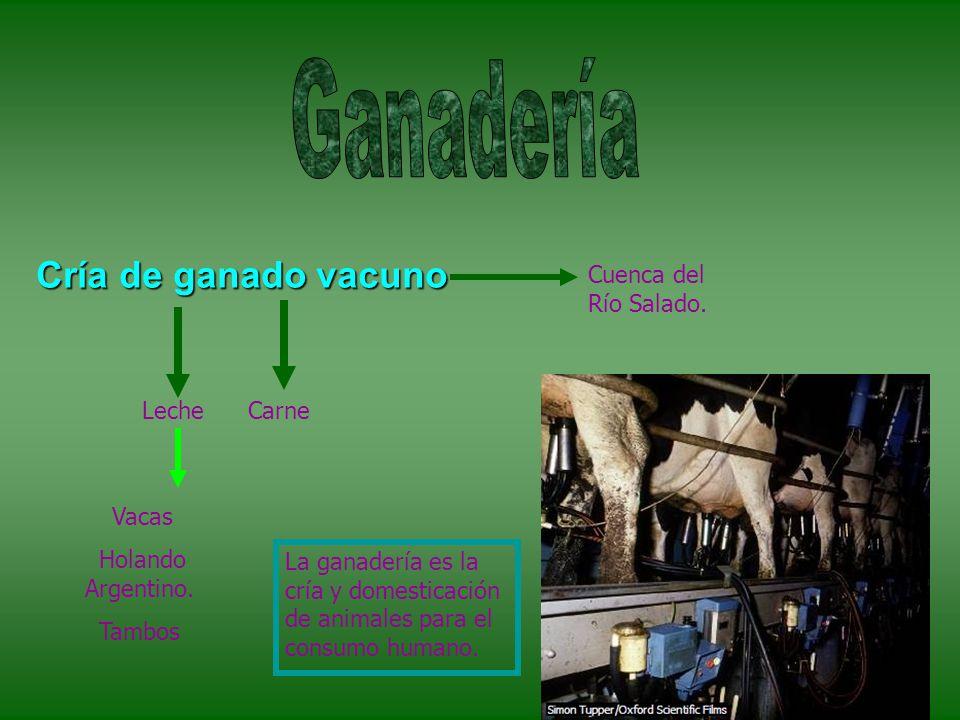 Ganadería Cría de ganado vacuno Cuenca del Río Salado. Leche Carne