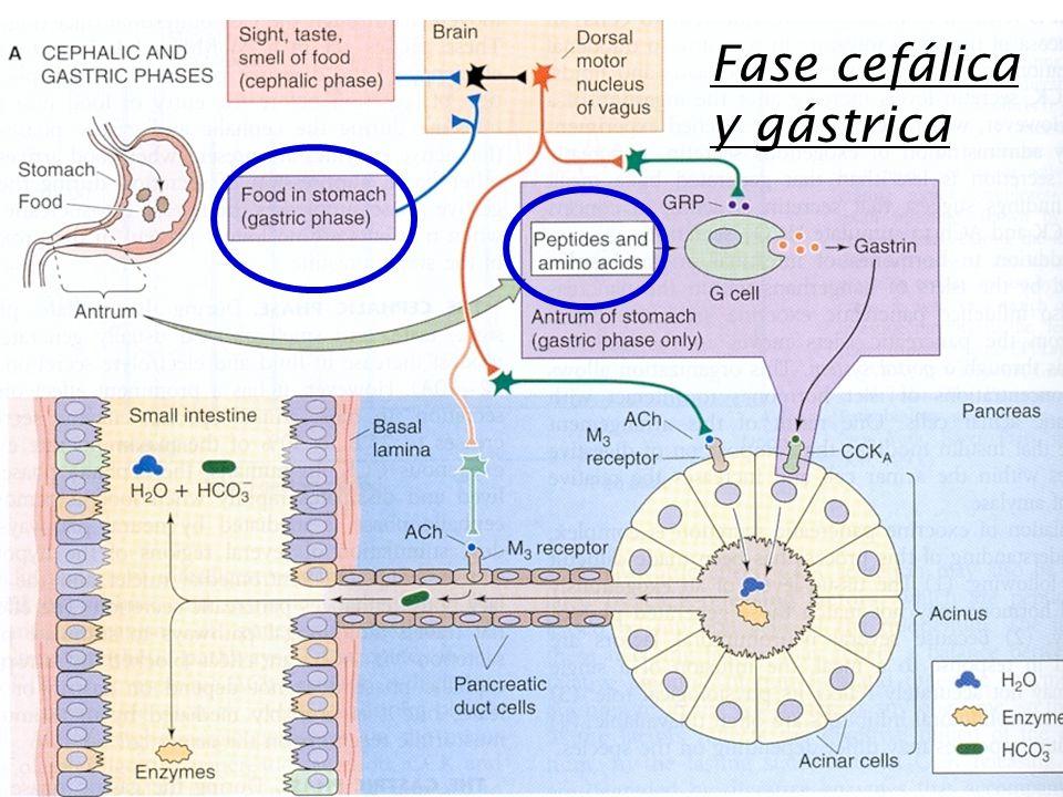 Fase cefálica y gástrica