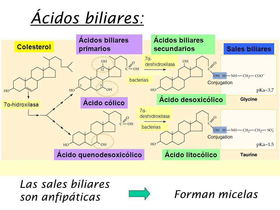 Ácidos biliares: Las sales biliares son anfipáticas Forman micelas