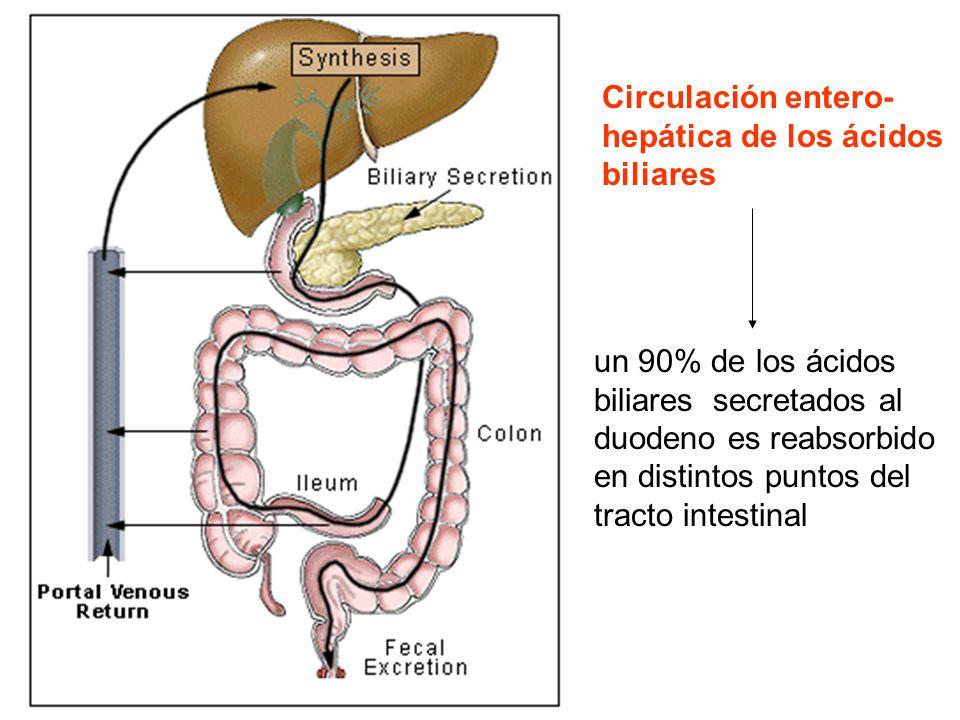 Circulación entero-hepática de los ácidos biliares