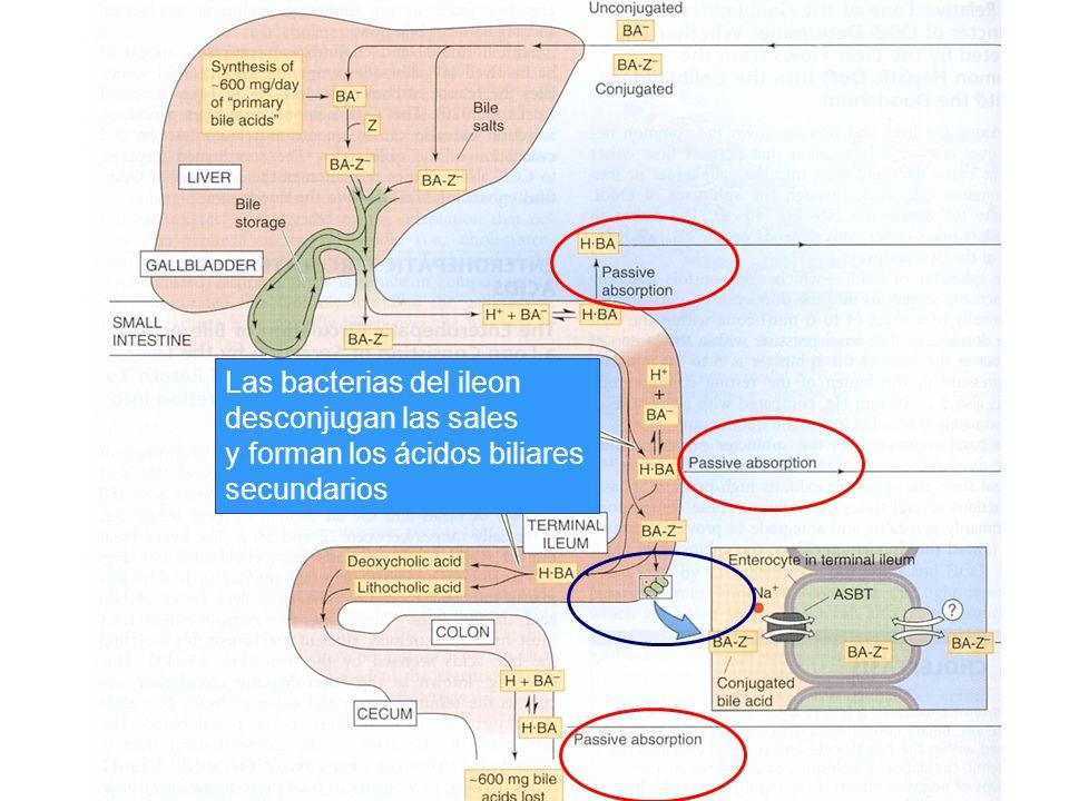 Las bacterias del ileon