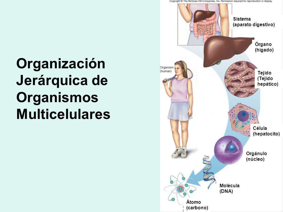 Organización Jerárquica de Organismos Multicelulares Sistema