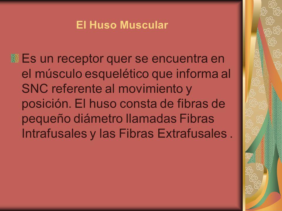 El Huso Muscular