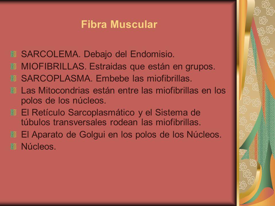Fibra Muscular SARCOLEMA. Debajo del Endomisio.