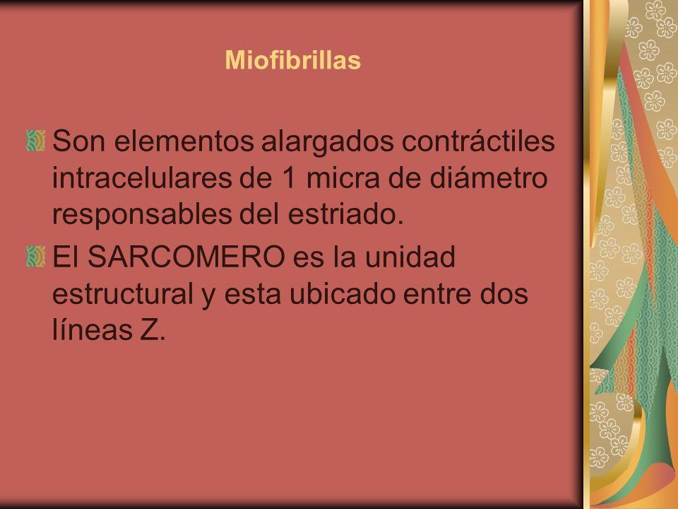 Miofibrillas Son elementos alargados contráctiles intracelulares de 1 micra de diámetro responsables del estriado.