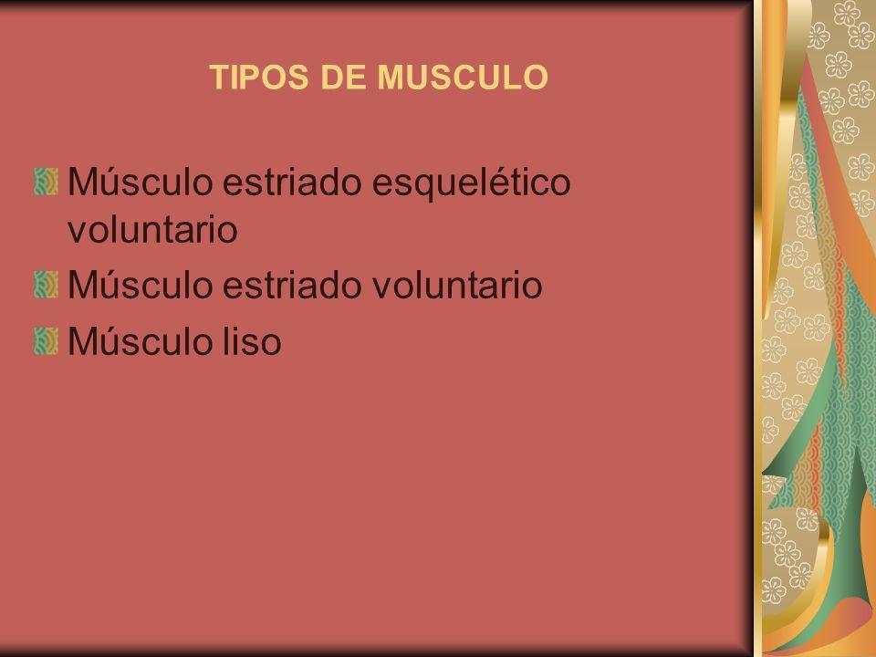 Músculo estriado esquelético voluntario Músculo estriado voluntario