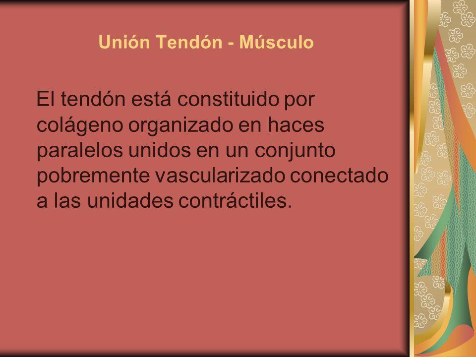 Unión Tendón - Músculo