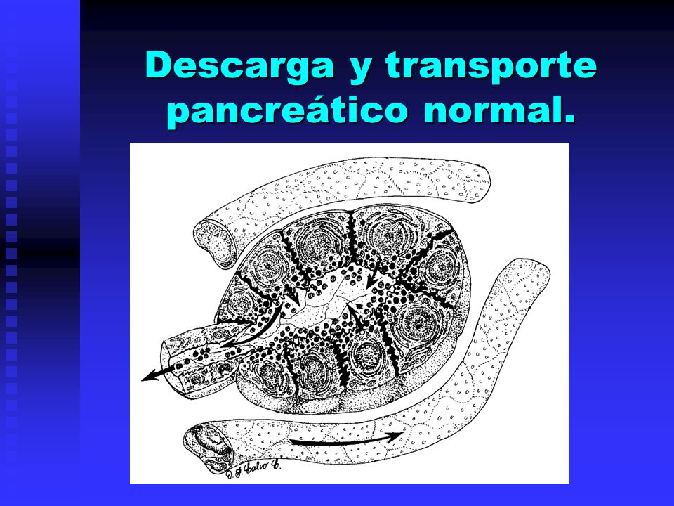 Descarga y transporte pancreático normal.