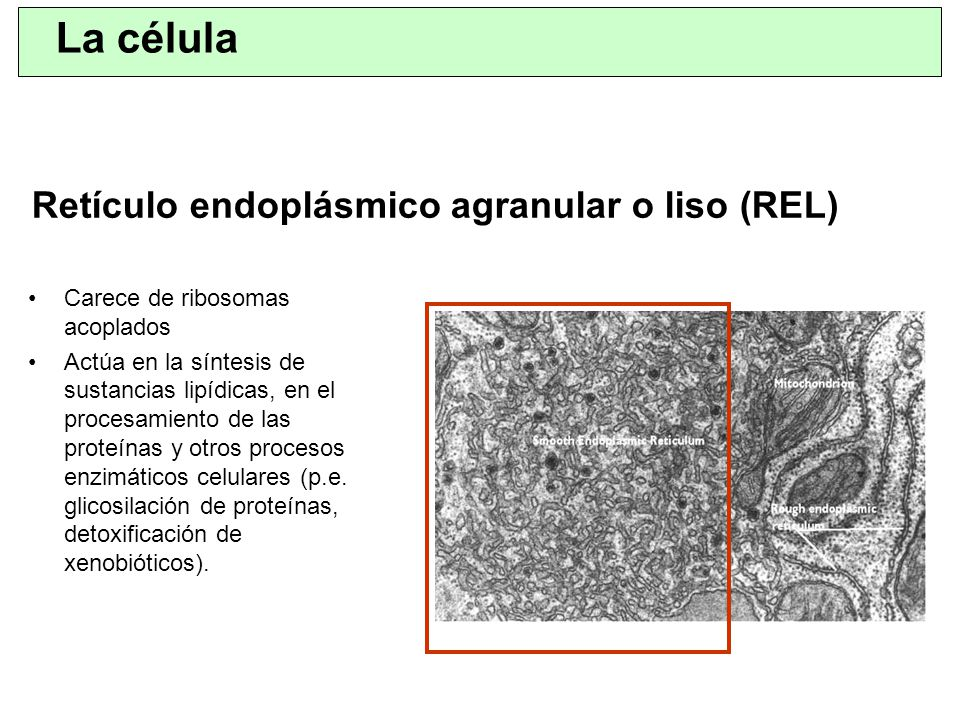 Retículo endoplásmico agranular o liso (REL)