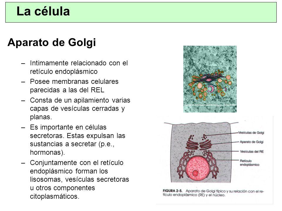 La célula Aparato de Golgi
