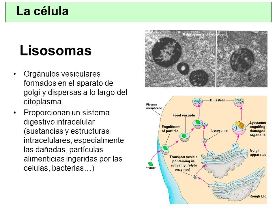 La célula Lisosomas. Orgánulos vesiculares formados en el aparato de golgi y dispersas a lo largo del citoplasma.