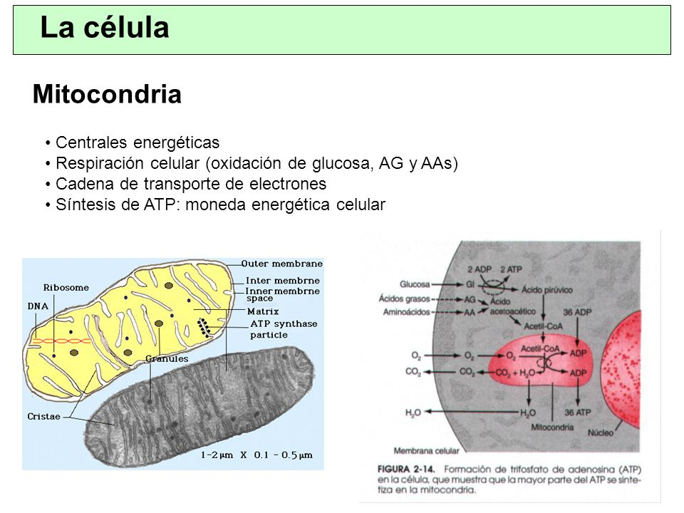 La célula Mitocondria Centrales energéticas