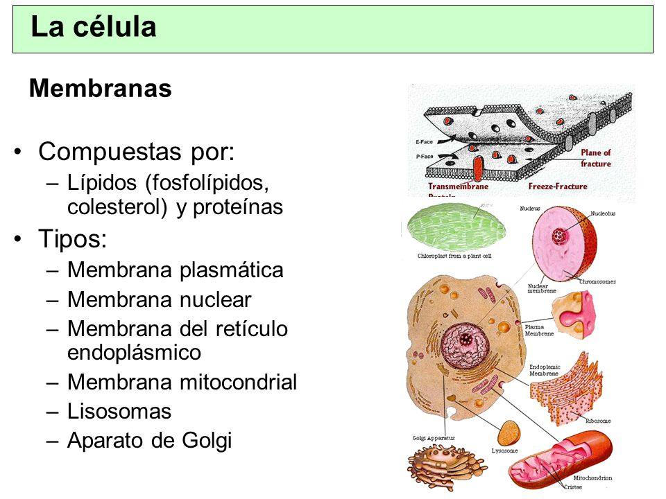 La célula Membranas Compuestas por: Tipos: