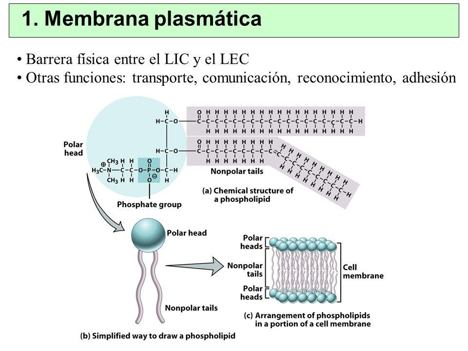 1. Membrana plasmática Barrera física entre el LIC y el LEC