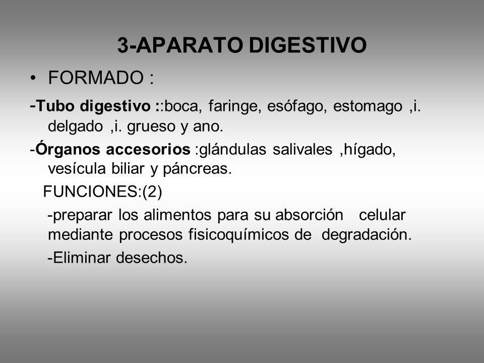 3-APARATO DIGESTIVO FORMADO :