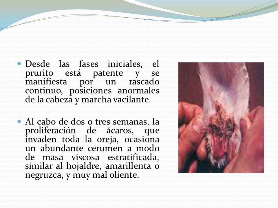 Desde las fases iniciales, el prurito está patente y se manifiesta por un rascado continuo, posiciones anormales de la cabeza y marcha vacilante.
