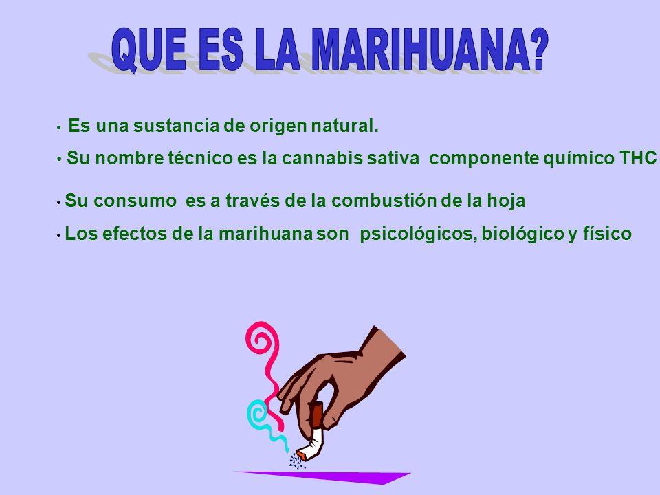 QUE ES LA MARIHUANA Es una sustancia de origen natural. Su nombre técnico es la cannabis sativa componente químico THC.