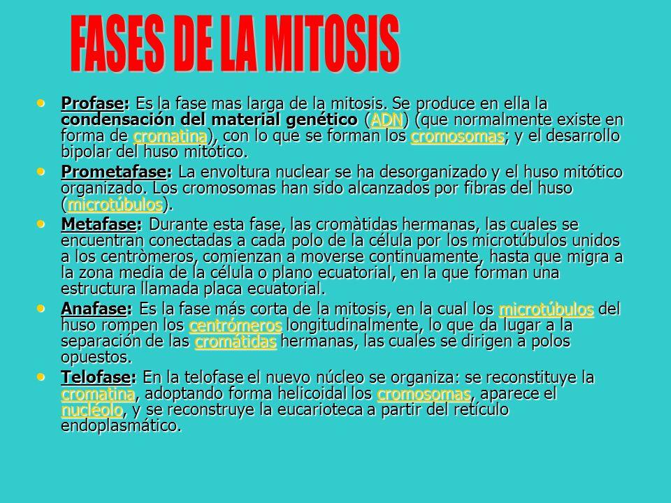 FASES DE LA MITOSIS
