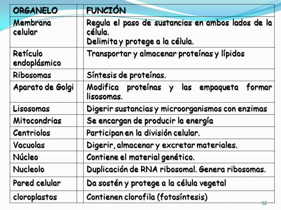 ORGANELO FUNCIÓN. Membrana celular. Regula el paso de sustancias en ambos lados de la célula. Delimita y protege a la célula.