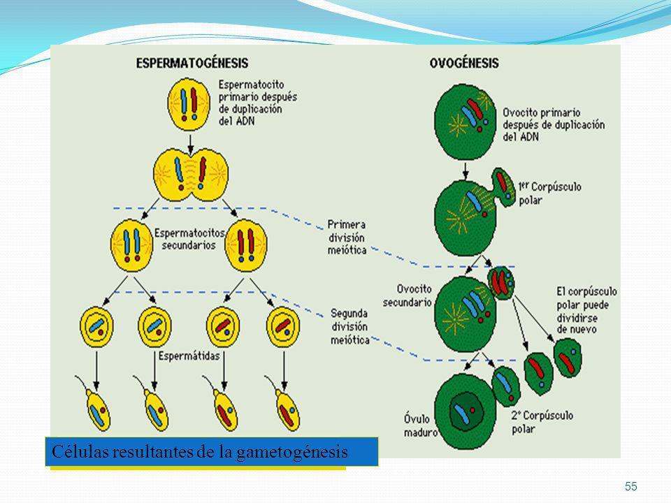 Células resultantes de la gametogénesis