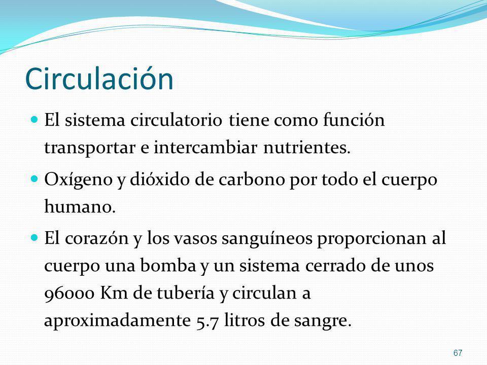Circulación El sistema circulatorio tiene como función transportar e intercambiar nutrientes.