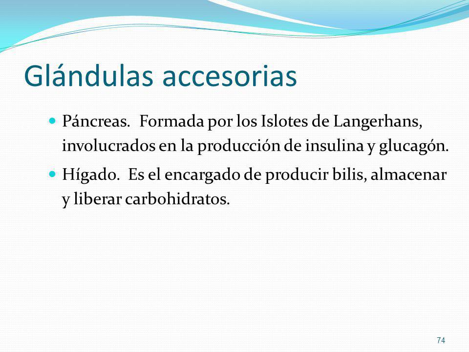 Glándulas accesorias Páncreas. Formada por los Islotes de Langerhans, involucrados en la producción de insulina y glucagón.