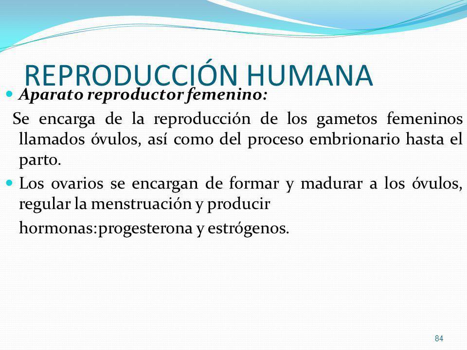 REPRODUCCIÓN HUMANA Aparato reproductor femenino: