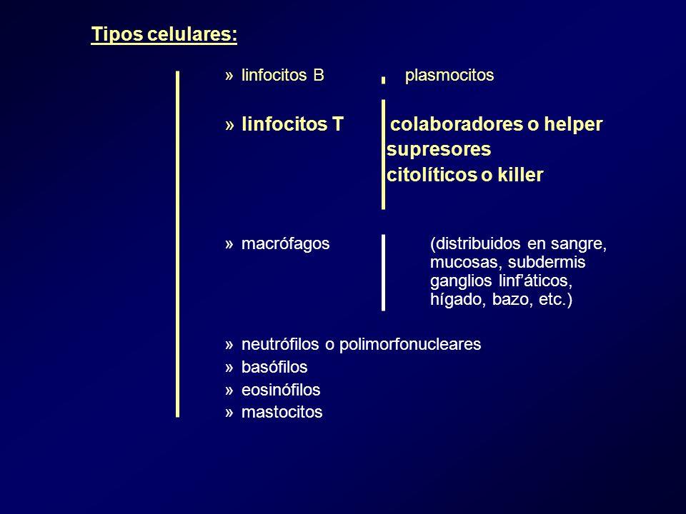 linfocitos T colaboradores o helper supresores citolíticos o killer