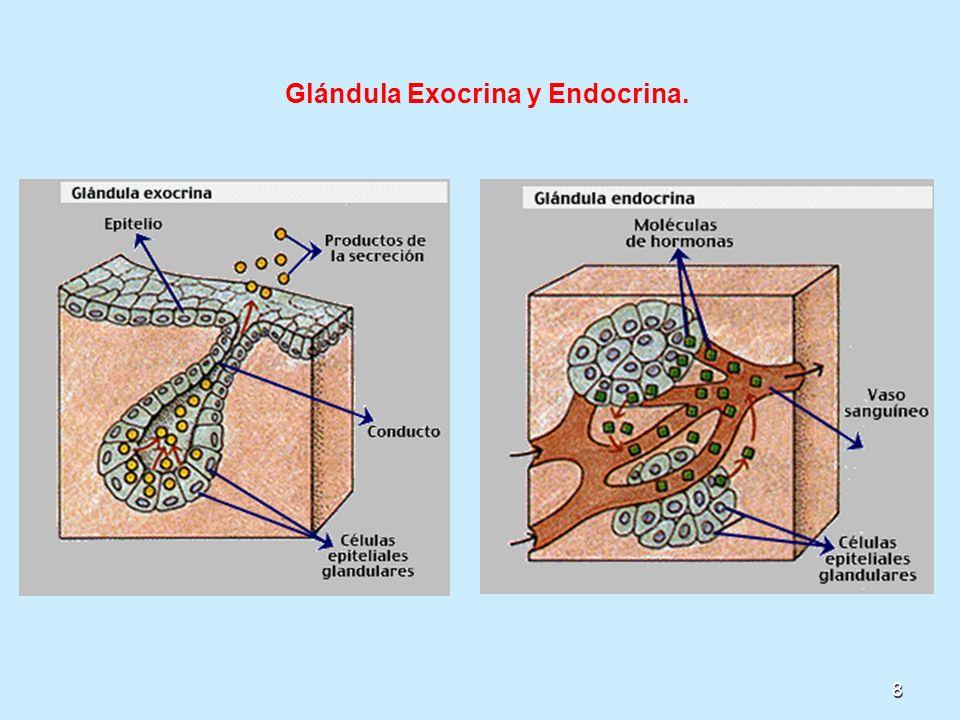 Glándula Exocrina y Endocrina.