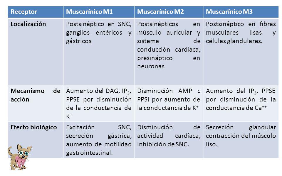 Receptor Muscarínico M1. Muscarínico M2. Muscarínico M3. Localización. Postsináptico en SNC, ganglios entéricos y gástricos.