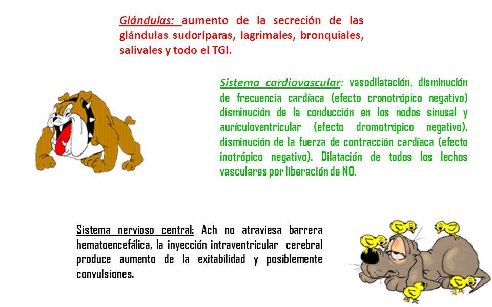 Glándulas: aumento de la secreción de las glándulas sudoríparas, lagrimales, bronquiales, salivales y todo el TGI.