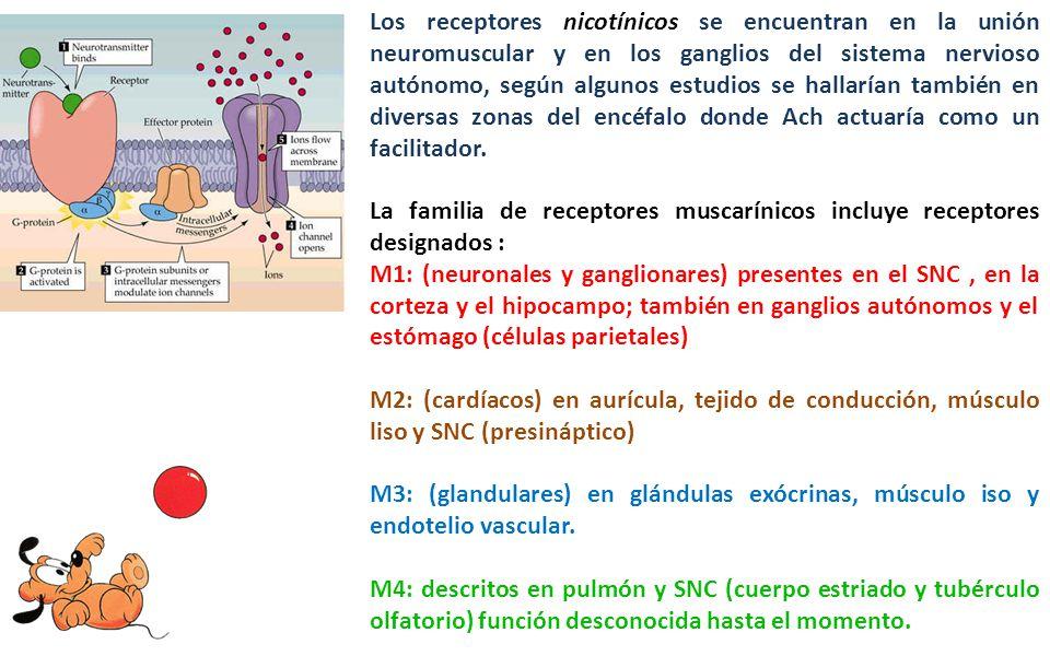Los receptores nicotínicos se encuentran en la unión neuromuscular y en los ganglios del sistema nervioso autónomo, según algunos estudios se hallarían también en diversas zonas del encéfalo donde Ach actuaría como un facilitador.