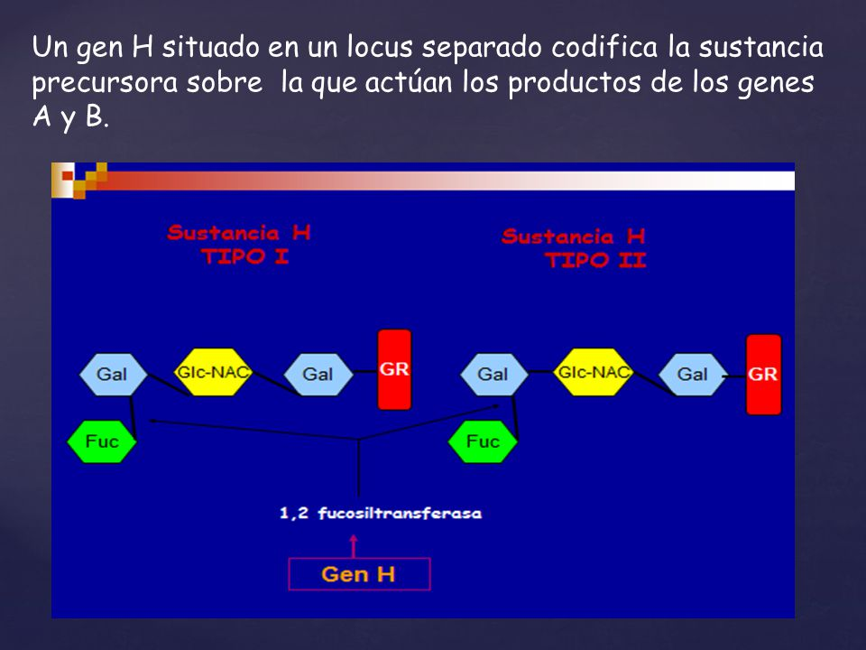 Un gen H situado en un locus separado codifica la sustancia precursora sobre la que actúan los productos de los genes A y B.