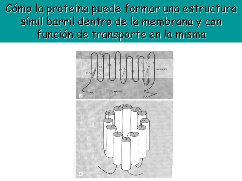 Cómo la proteína puede formar una estructura símil barril dentro de la membrana y con función de transporte en la misma