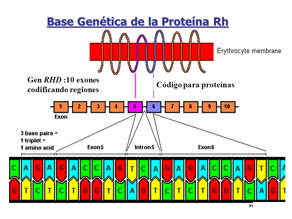 Base Genética de la Proteína Rh