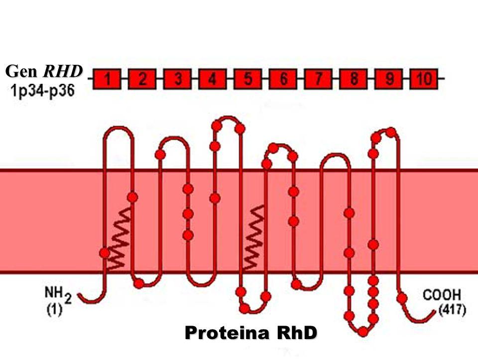 Gen RHD Proteina RhD