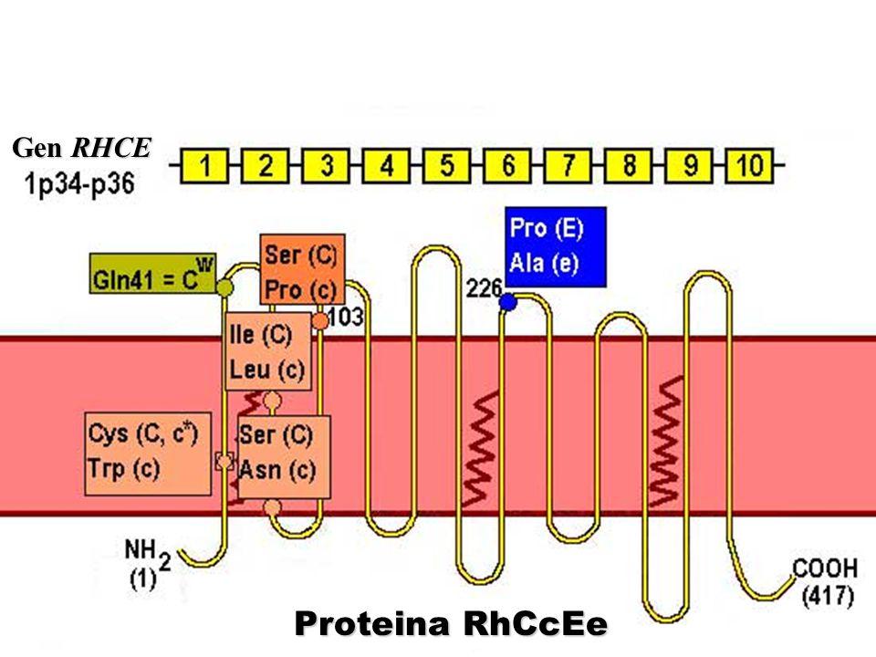 Gen RHCE Proteina RhCcEe