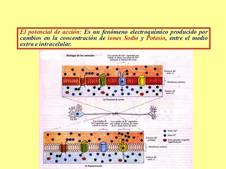 El potencial de acción: Es un fenómeno electroquímico producido por cambios en la concentración de iones Sodio y Potasio, entre el medio extra e intracelular.